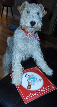 Rumplepimple is our July dog of the month. He is a Wire Fox Terrier and an avid story teller!
