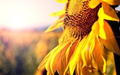 The Mind-Blowing Mathematics of Sunflowers