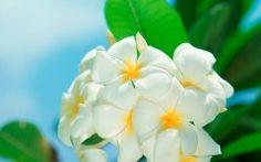 White Flowers Free Wallpaper Download