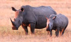 Unbelievable, freaking terrorists are profiting from poaching rhinos. Help rhinos avoid extinction by 2020...
