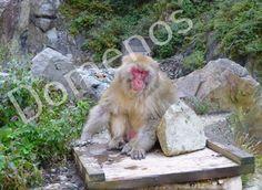 Digital Picture/Photo/Wallpaper/Desktop Background/Snow Monkey/Japan #15