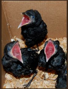 LOL!! Crow chicks: a pile of bad news. Don Burleson Blog: A Murder of Crows