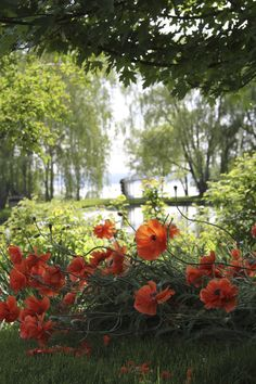 Papery poppies by the pond.  // Great Gardens & Ideas //