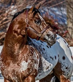 Love this gorgeous Appaloosa! The Secret Pardon - Sweetwater Farms Quality Appaloosa Horses since 1979 Cute Horses, Pretty Horses, Horse Love, Beautiful Horse Pictures, Beautiful Horses, Animals Beautiful, Quarter Horses, Majestic Horse, Horse Photos