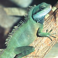 Chinese Water Dragons are healthiest and happiest living alone. They love water and do well with small water features in the habitat. Find water dragons for sale at your local PetSmart store! Price may vary by location. Big Animals, Happy Animals, Chinese Water Dragon, Small Water Features, Wild Bird Food, Online Pet Supplies, Cat Memorial, Reptiles And Amphibians, Diy Stuffed Animals