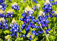 Texas blue bonnets--Garden!