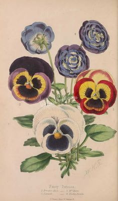 pansy-00345 - Fancy Pansies - engravings Artscult lithographs free paintings Graphic Paper Edwardian picture scan domain beautiful flora ArtsCult.com craft qulity books nice decoration vintage collage scrapbooking wall Victorian  botanical printable pages commercial 1900s transfer blooming 17th natural old ornaments public 1800s botany fabric ArtsCult art supplies Pictorial floral naturalist royalty instant plants masterpiece use 18th illustration flowers pack clipart high digital 300 dpi…