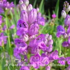 Entice butterflies to visit your garden with Penstemon (beardtongue). This is the native Penstemon strictus (Rocky mountain beardtongue).