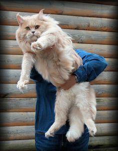 15 больших котов, которые не сомневаются в своей крутости