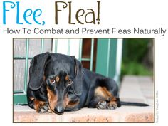 Combat and Prevent Fleas Naturally http://kaiamagazine.com/2012/04/10/flee-flea-how-to-combat-and-prevent-fleas-naturally/