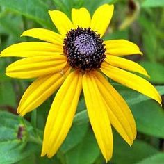 200+ Black Eyed Susan Flower Seeds , Under The Sun Seeds