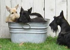 My favorite Scottie-Sweeties in the WHOLE-WIDE-WORLD!  Kisses to my baby-Hazel, 'guard-dog' Isabella, & silly 'minnie-Pearl'... Love you baby-girls <3