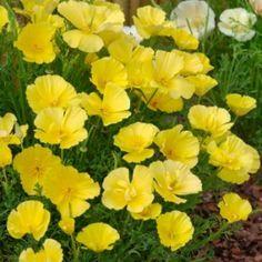 Eschscholtzia Butter Bush Seeds - Irish Plants Direct