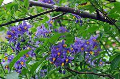 solarium crispum - evergreen vine
