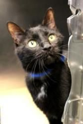 Pepito is an adoptable Domestic Short Hair Cat in Chicago, IL. Meet Pepito and be prepared to fall in love! This wonderful guy came to the shelter when his owner could no longer afford to keep a pet. ...