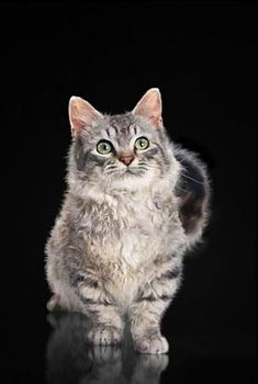 Dwarf cats, commonly referred to as munchkin cats, are nothing short of adorable on paper. Unfortunately, those looks come at a price. They're the result of genetic deformities, and breeders cash in on the kittens' cuteness. Short Legged Cats, Dog Pictures, Animal Pictures, Dwarf Cat, Cute Cats, Funny Cats, Curly Cat, Laperm, Baby Animals