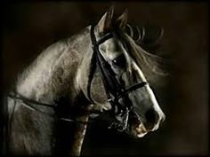 Resultado de imagem para cavalo lusitano