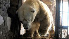 L'orso polare Arturo è morto domenica. Aveva 31 anni e viveva nello zoo di Mendoza in Argentina. La causa della morte è dovuta all'età avanzata. Lo zoo si