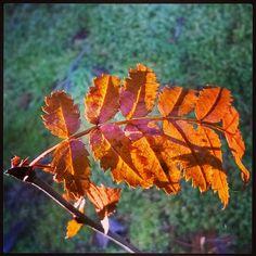 #ruska #autumn  #leaf  #pihlaja #syksy