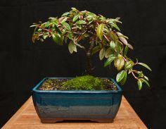 Cotoneaster Bonsai Bonsai Tree Bonsai Plant by BucksCountyBonsai