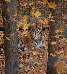 Tiger at the Toronto Zoo