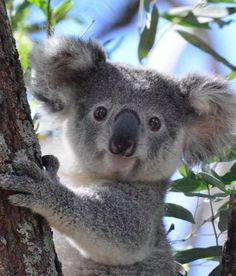 Nov 2019 - The koala, is Australia's national treasure and a rare and precious primitive arboreal in Australia. The English name Koala bear… Cute Funny Animals, Cute Baby Animals, Animals And Pets, Cute Koala Bear, Wild Animals, Tier Wallpaper, Australian Animals, Tier Fotos, Animal Faces
