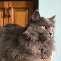 This Looks Exactly My Cat Cash A Long Haired Russian Blue