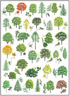 tree identification- cornell.edu pdf