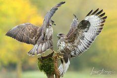 Fighting Buzzards...