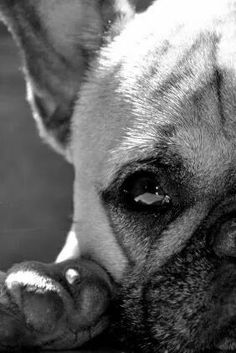 French Bulldog ❤