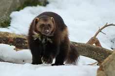 Wolverine - Average males weigh lbs kg) but the biggest recorded wei. - Wolverine – Average males weigh lbs kg) but the biggest recorded weigh nearer 75 lbs - Black Bear, Brown Bear, Black Sheep, Wolverine Pictures, Wolverine Animal, Find Your Spirit Animal, Animals And Pets, Cute Animals, Pitbull Facts