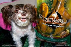 """I am a kibble connoisseur so I search the world for great kibble I can enjoy. I found a great Low Ingredient Diet pet food in Pinnacle's Holistic Pet Food. I had a grand adventure with it when some went missing...you're going to LOVE reading about """"The Finder of Lost Kibble"""". Visit my blog to read all about it! Pixel's Adventures in Eating the Best Natural Food for #PinnacleHealthyPets #sponsored"""