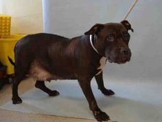 LUDDY - A1110401 - SUPER URGENT MANHATTAN - FEMALE COCOLATE AM PIT BULL TER MIX, 12 Yrs - STRAY - NO HOLD Reason STRAY - Intake 04/29/17 dueOut 05/02/17 - LETHARGI, NOT EATING, CALM, ALLOWS HANDLING, LARGE NUMBER OF LARGE MASSES