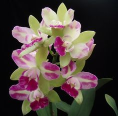 Phalaenopsis , Cattleya, Paphiopedilum and Orchids supplier::PRODUCTS (Cattleya - Village Chief North)