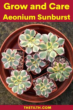 Types Of Succulents, Succulents Garden, Succulent Care, Rosettes, Evergreen, Different Colors, Plants, Flowers