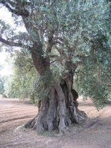 http://www.apuliadestination.com/ Ulivo sulla terra rossa della Puglia