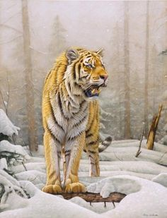 Siberian Tiger in snow. Painting by Eric Wilson - Siberian Tiger in snow. Fine Art Prints and Posters for Sale