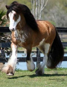 Gypsy vanner horse breed- sundance kid