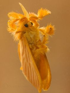 De oruga de cristal a mariposa de seda naranja  Estas imágenes, aunque parezca increíble, pertenecen a la misma especie: Acraga coa, de la familia de las Dalceridae.  Su hábitat natural se extiende desde el sur de México hasta Panamá.