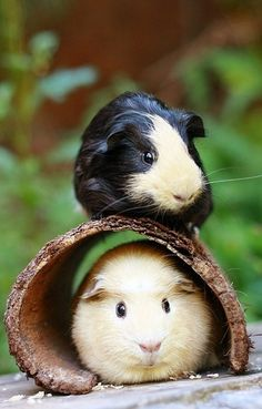 Gorgeous Guinea #Pigs                                         #GuineaPigs