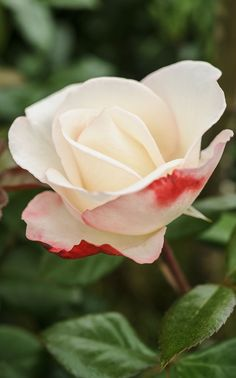Scented roses: 'Nostalgia' is a strongly scented hybrid tea rose with cream flowers, tinged cherry red on the outer petals. Photo by Jason Ingram: