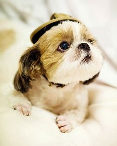 Shih Tzu in a hat