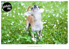 Fashion chihuahua in a spring morning♥! #goodmorning #spring #Milan #giuliettalovers #fashionchihuahua #inthegrass #green #firstoftheclass #style #glam