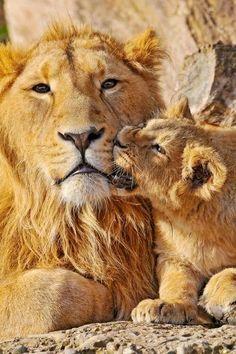 Foto: Face, simply priceless!   Grandes felinos Incluye a las cuatro especies de felino en el género Panthera: el león (Panthera leo), tigre (Panthera tigris), leopardo (Panthera pardus) y el jaguar (Panthera onca). Los miembros de este género son los únicos capaces de rugir, y esto se considera como un elemento característico de los grandes felinos. Todos los felinos son eficientes depredadores carnívoros. Su rango de distribución incluye América, África, Asia y Europa. Sólo Oceania y la…