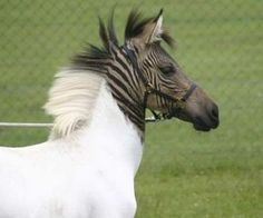 """This is """"Eclyse"""" a Zorse. She was born in Germany and is the only Zorse with these markings."""