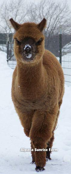 Alpaca - Too sexy for mah fur, too sexy for mah fur. Animals And Pets, Baby Animals, Funny Animals, Cute Animals, Alpacas, Beautiful Creatures, Animals Beautiful, Lama Animal, Mon Zoo