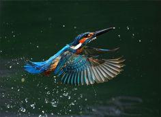 bird photography is a very challenging form of photography. Birds are very beautiful creatures. Here are a beautiful collection of bird pictures for your inspiration. Kingfisher Tattoo, Kingfisher Bird, Common Kingfisher, I Like Birds, Kinds Of Birds, Wildlife Photography, Animal Photography, Wildlife Nature, Big Bird
