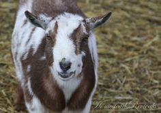 Thoughts to Consider on Raising Dairy Goats