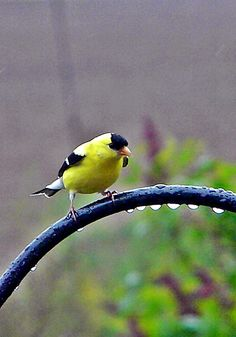 Goldfinch in Rain~cl