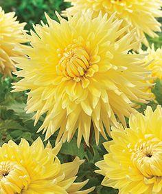 "Bilbao Dahlia (8-10"" bloom; 3' bush): yellow; semi-cactus."